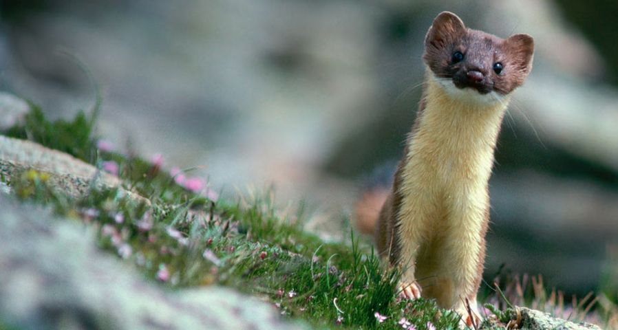 Long-tailed weasel on rocks in Rocky Mountain National Park, Colorado