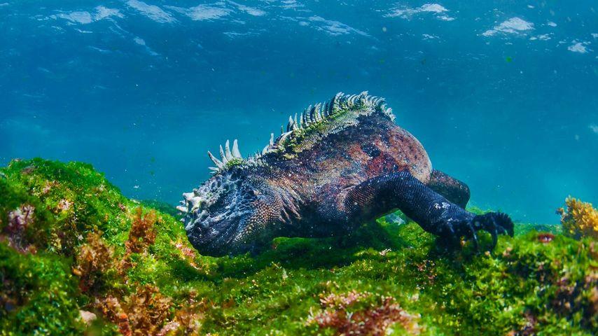 Marine iguana eating algae off Fernandina Island, Galapagos Islands, Ecuador