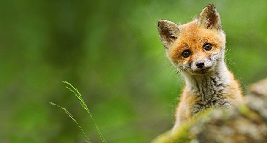 Baby red fox photographed near Trento, Italy