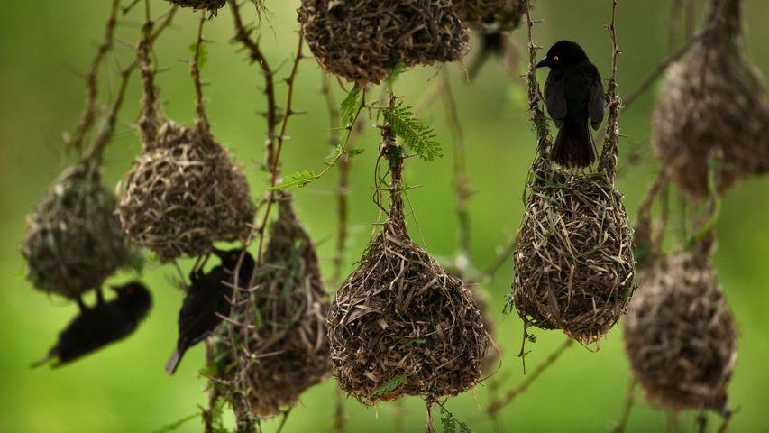 Weaver birds in Queen Elizabeth National Park, Uganda