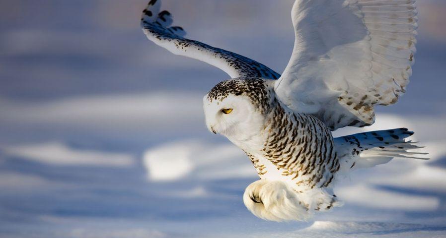 飞行中的雪鸮