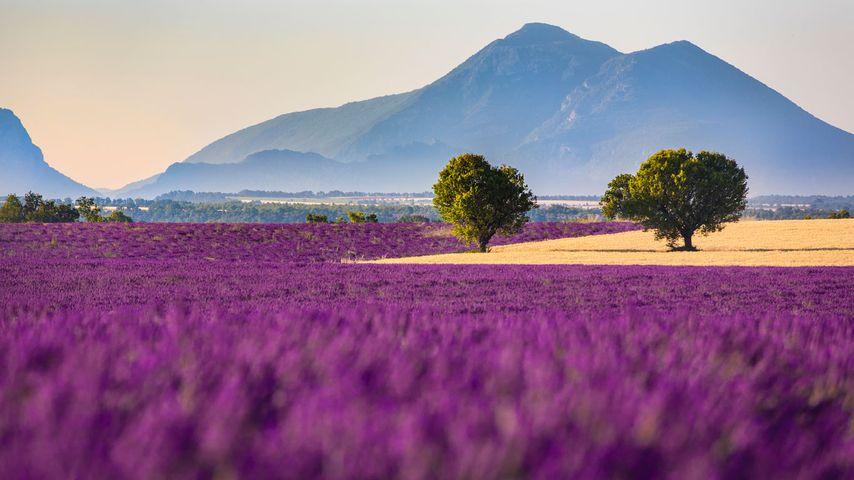 Champs de lavande sur le plateau de Valensole, Alpes-de-Haute-Provence, PACA