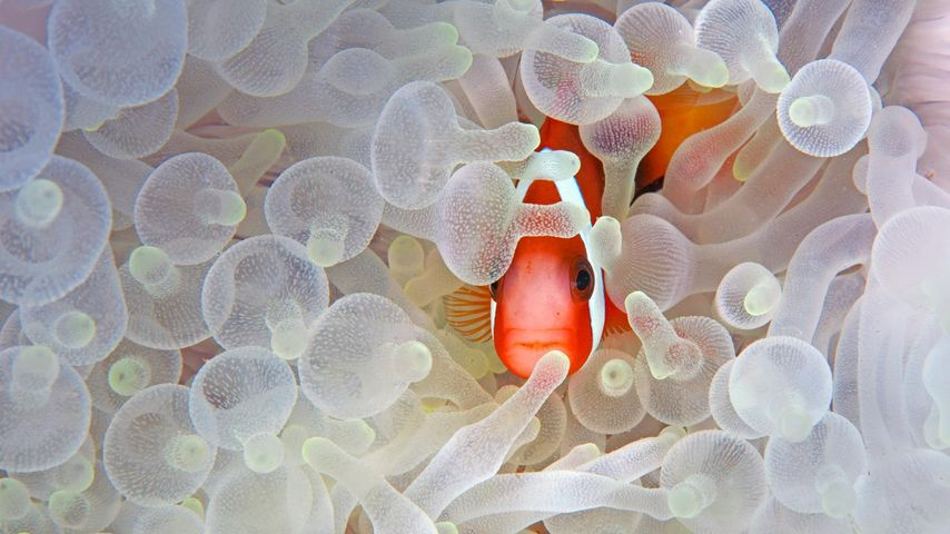 Red and black anemonefish in bleaching anemone in the Lembeh Strait of North Sulawesi, Indonesia