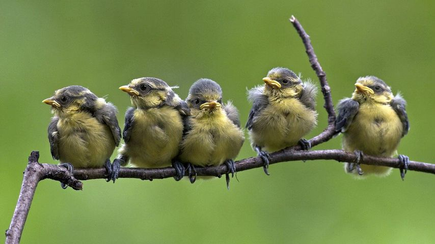Blue tit chicks fledging on a branch