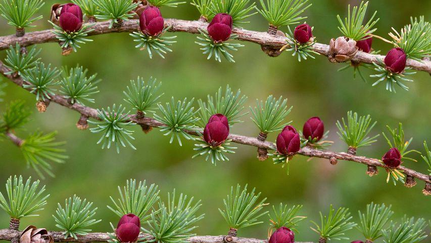 Tamarack branches with cones in Newfoundland and Labrador, Canada