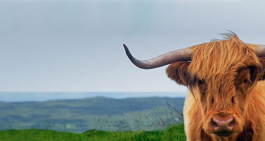 英国苏格兰斯凯岛的高地牛