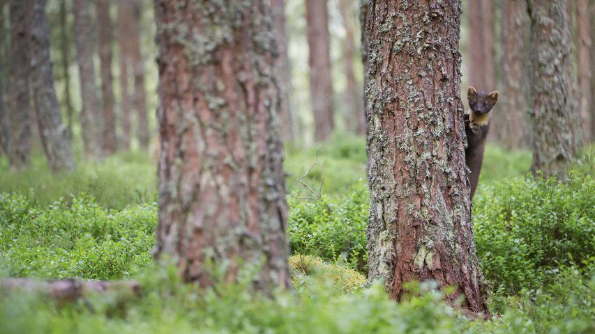 Baummarder im Cairngorms-Nationalpark, Schottland
