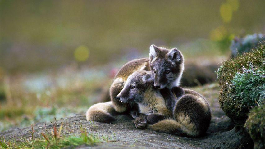 Arctic fox kits on Wrangel Island, Russia