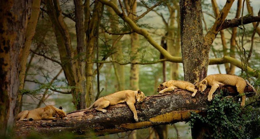 在树枝上睡觉的小狮子