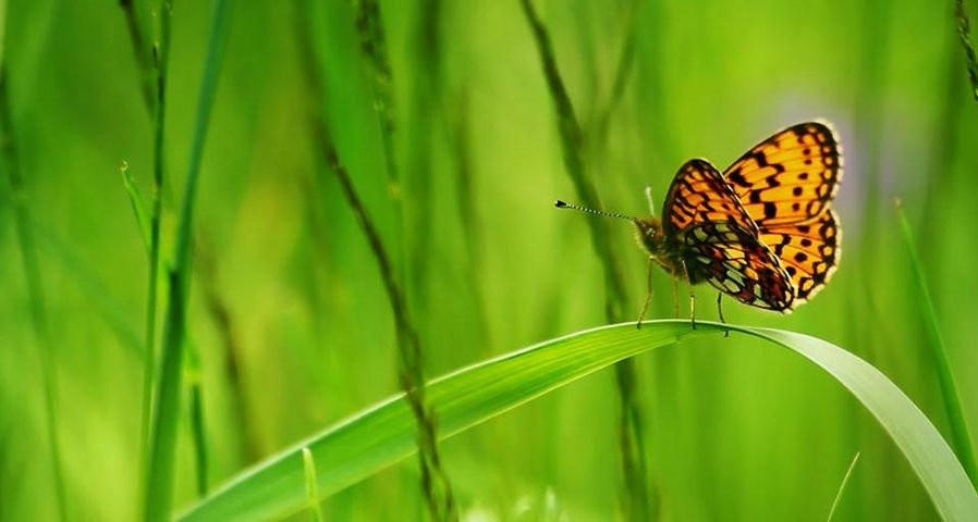 Fritillary butterfly sitting on a blade of grass