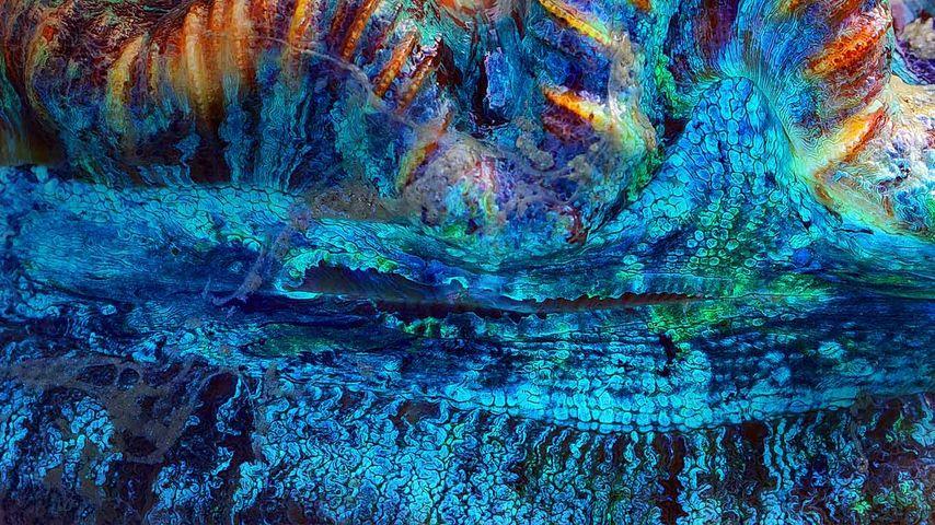 澳大利亚降灵群岛,一个巨蛤的特写