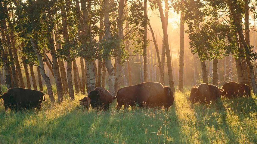 American Bisons, Elk Island National Park, Alberta