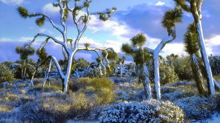 Snow-covered Joshua trees, Joshua Tree National Park, California, USA