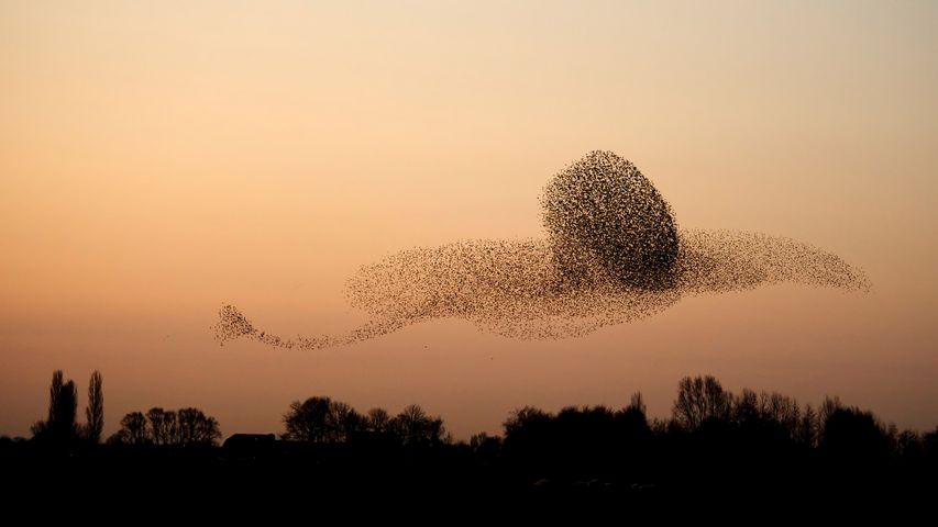 Ein Starenschwarm in ungewöhnlicher Formation, Provinz Gelderland, Niederlande