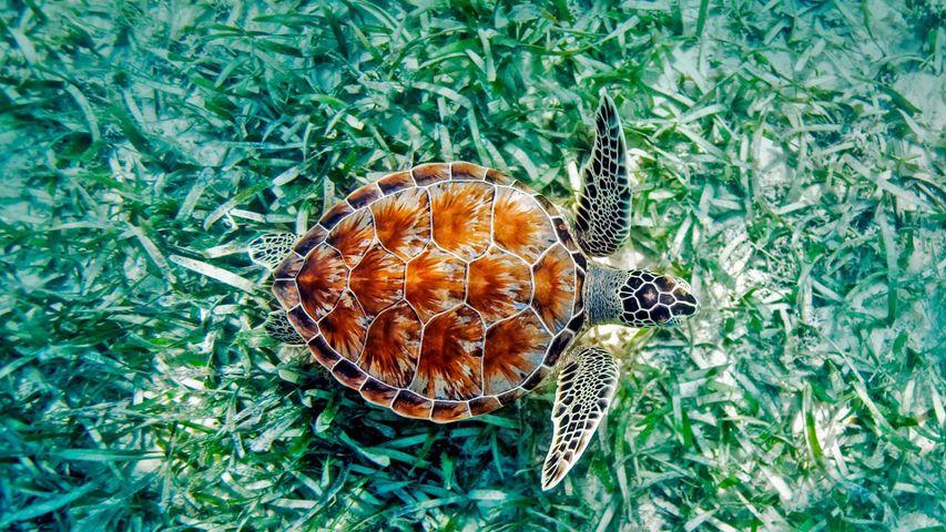 Tortue verte en pleine baignade à Hawaï, États-Unis