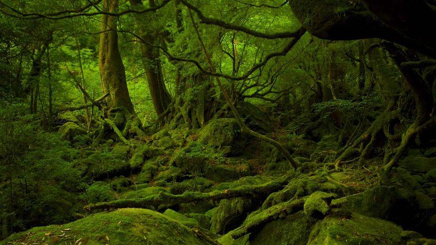Mononoke Hime no Mori on Yakushima, Japan