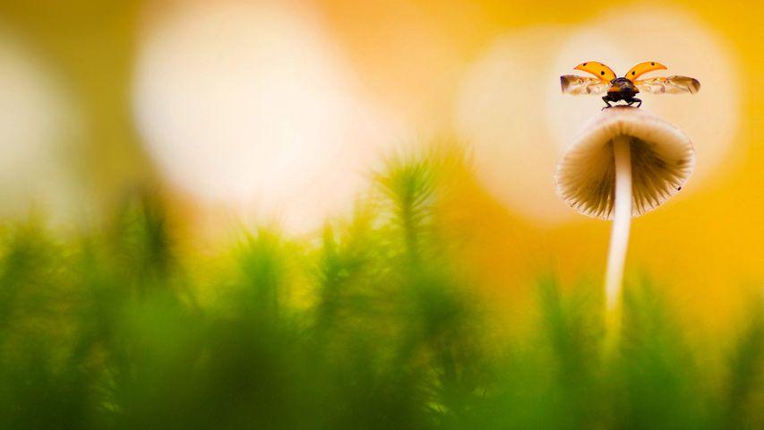 Coccinelle à sept points posée sur un champignon, Arnhem, Pays-Bas