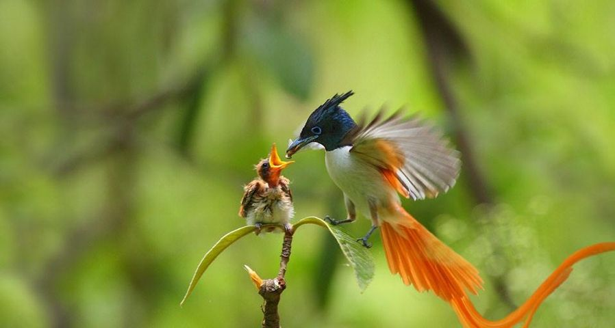 An adult male Asian paradise-flycatcher feeding a chick