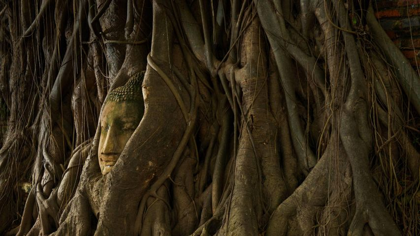 A stone Buddha head in the roots of a tree, Ayutthaya, Thailand