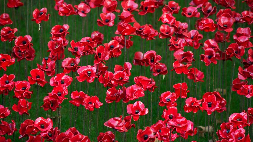 Poppy display at the Tower of London