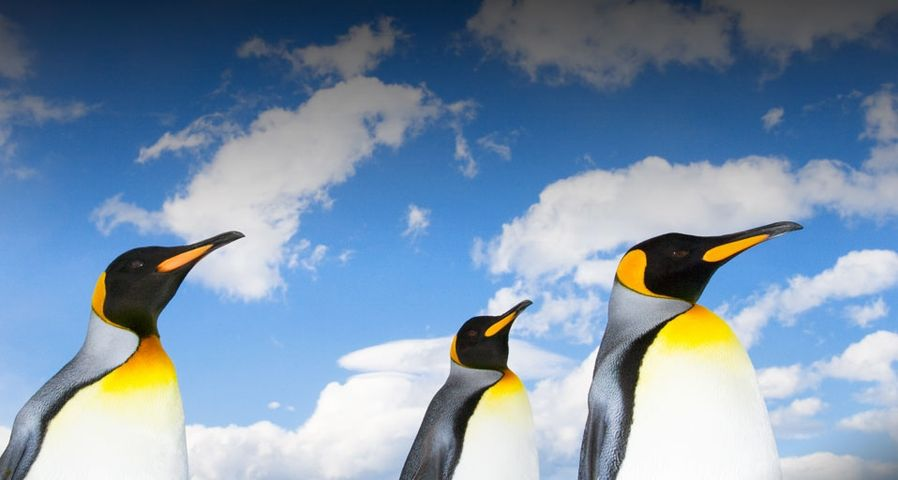 King penguins on beach under a cloud-filled sky - John Eastcott and Yva Momatiuk/Getty Images ©