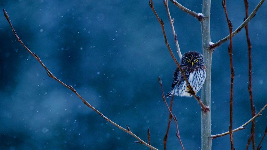 美国蒙大拿州,冰川国家公园中的北方侏儒猫头鹰