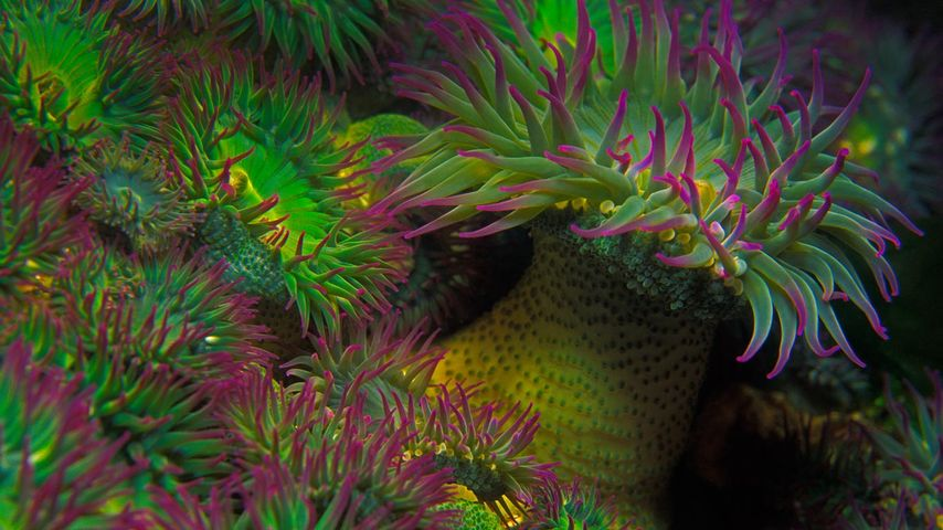 Anémones de mer Anthopleura elegantissima au large de l'île de Vancouver, Colombie-Britannique, Canada