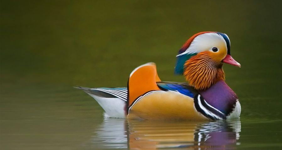 """在湖中泛波的,是""""鸳鸯""""中的""""鸳""""鸟"""