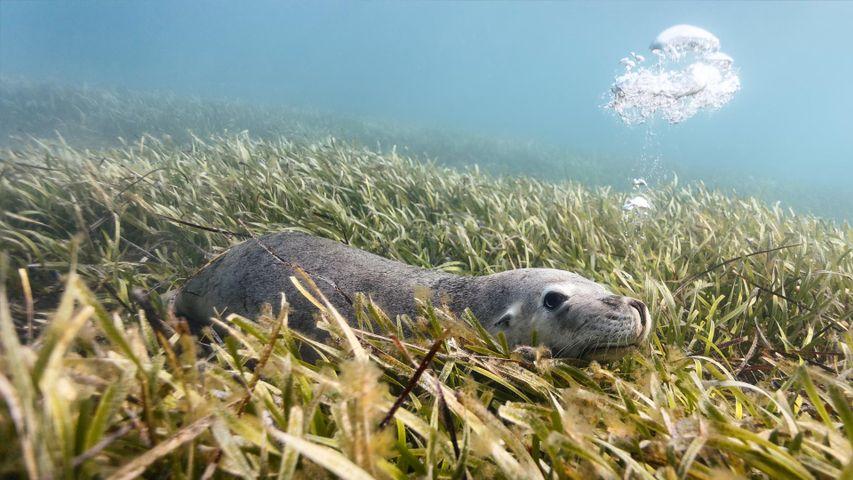 Australian sea lion (Neophoca cinerea) lying on a bed of sea grass in Carnac Island, Western Australia