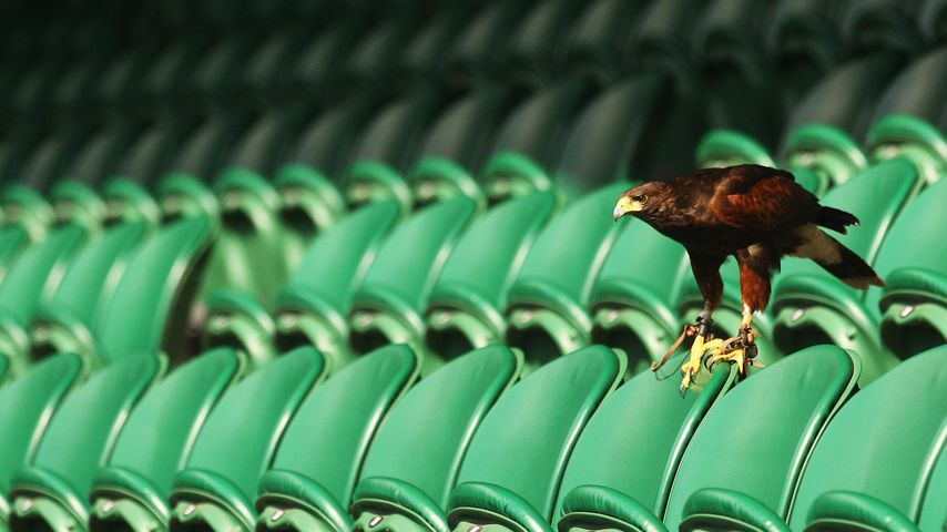 Rufus the Hawk keeps pigeons away on Centre Court at Wimbledon