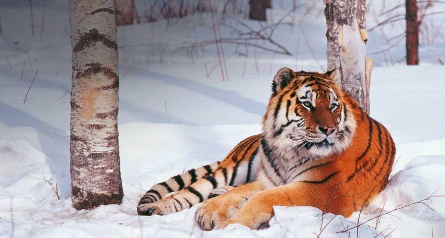 吉林长白山森林野生动物园中的东北虎