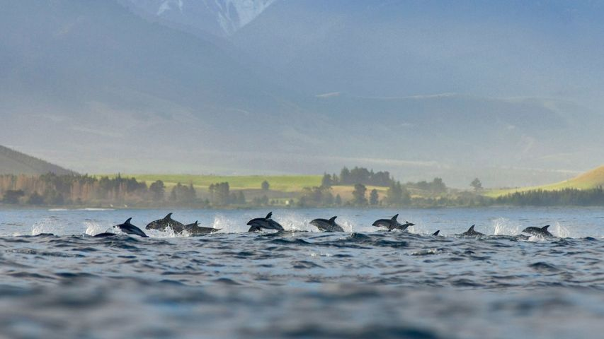 A pod of dusky dolphins at Kaikoura, New Zealand