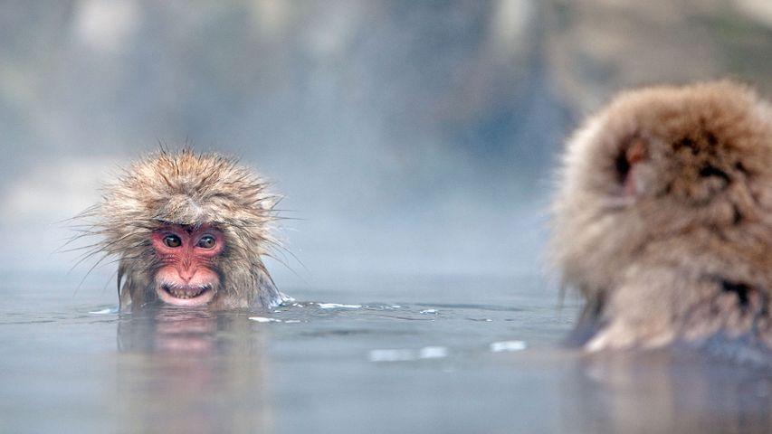 Japanese macaques in hot spring, Jigokudani Monkey Park, Japan