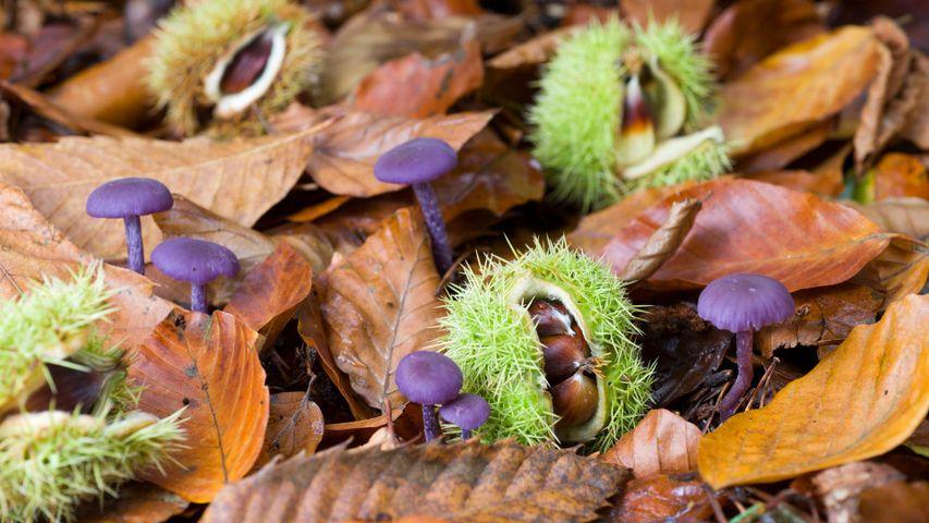 堕落的甜栗子和紫蜡蘑,英国诺福克