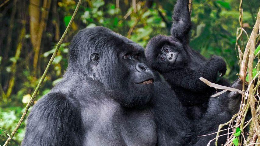 Adult male mountain gorilla and juvenile in Volcanoes National Park, Rwanda