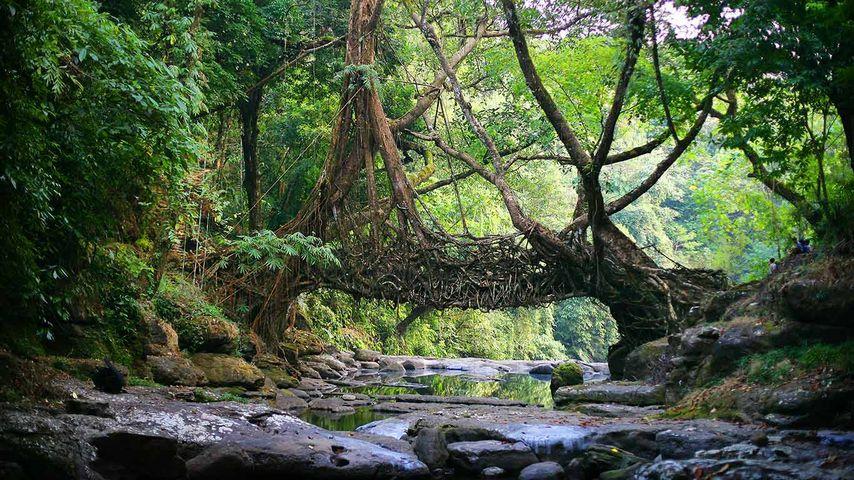 印度梅加拉亚邦,一座树桥