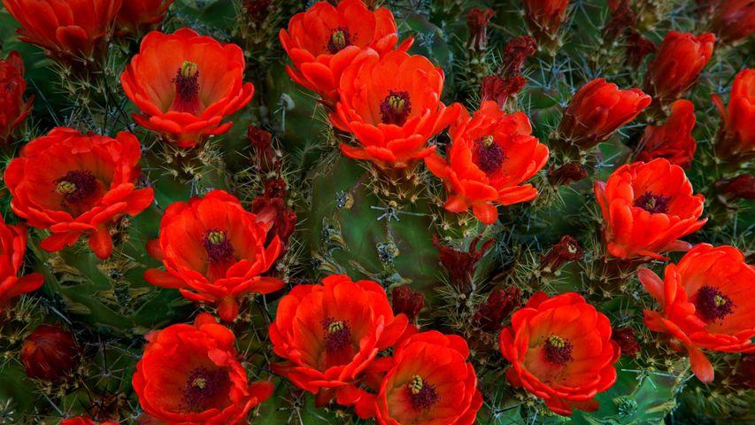 Cactus Echinocereus trilochidiatus, Parc National des Guadalupe Mountains, Texas, États-Unis