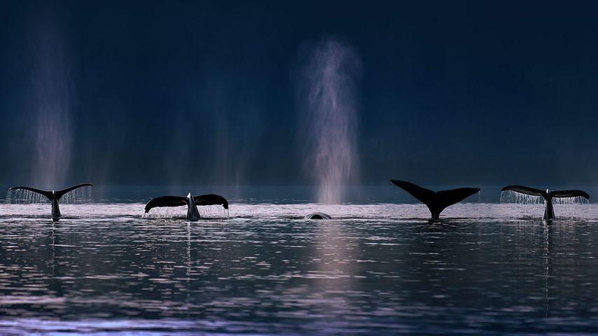 Humpback whales in Stephens Passage near Admiralty Island, Alaska, USA