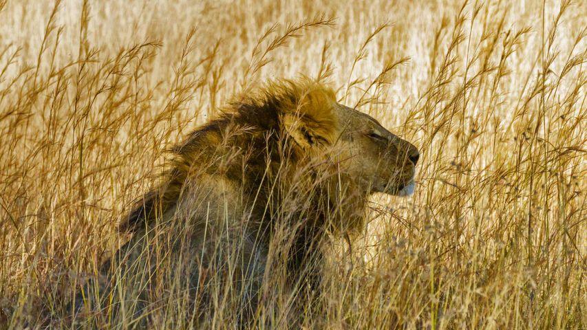 A lion in Hwange National Park, Zimbabwe