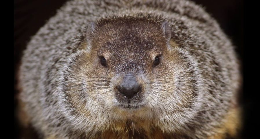 One of the groundhogs at Brookfield Zoo in Brookfield, Illinois