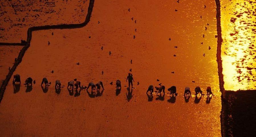 落日时分农民排成一排种植水稻