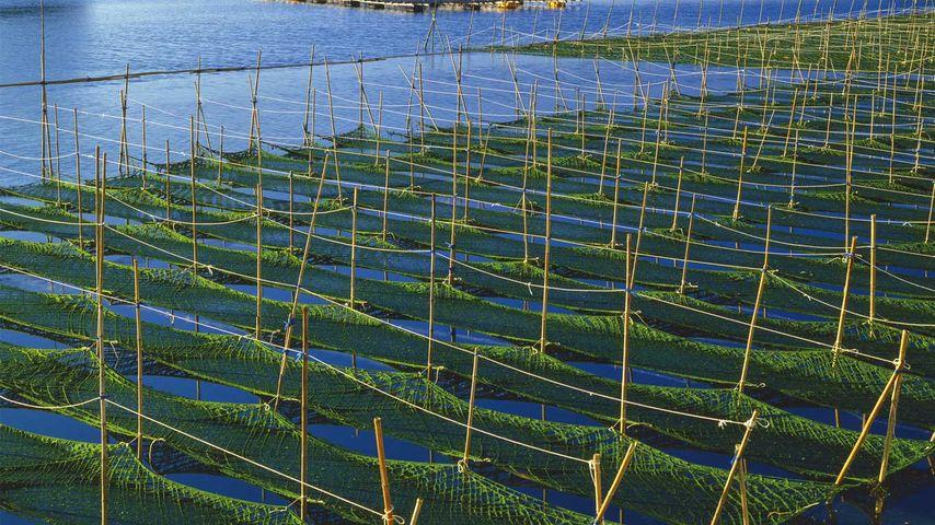 「あおさ海苔養殖場」三重, 志摩