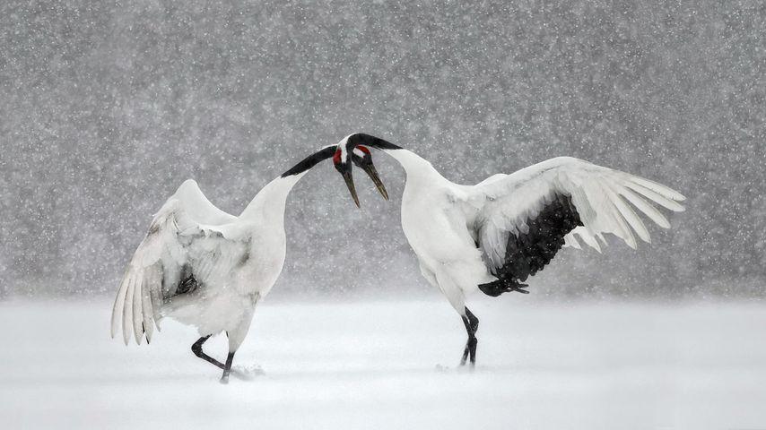 Red-crowned cranes dance in Hokkaido, Japan