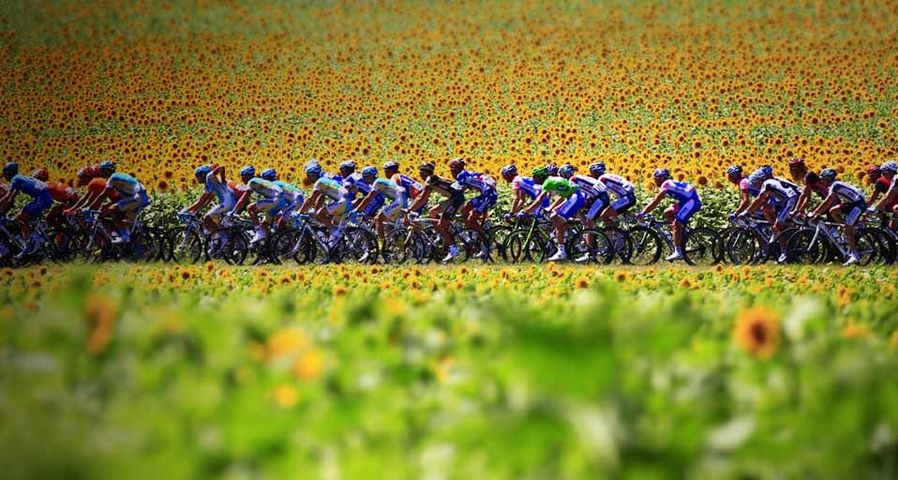 Cyclists in the 2010 Tour de France pass by a sunflower field between Revel and Ax-Trois-Domaines, France