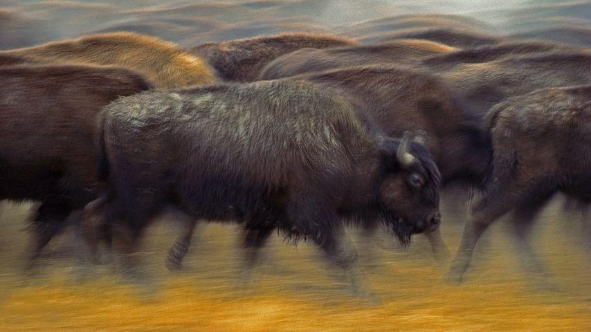 Bisons d'Amérique du Nord près de Fort Pierre, Dakota du Sud, États-Unis
