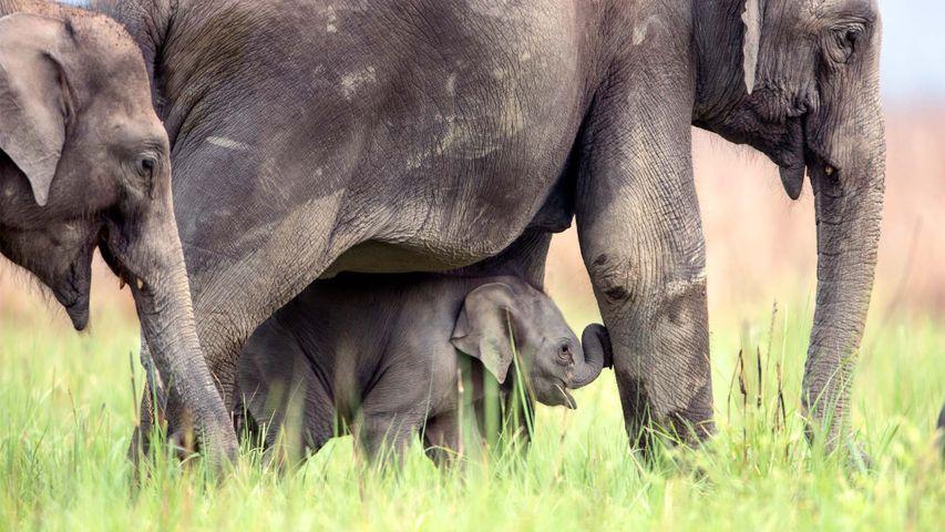 Asian elephants in Jim Corbett National Park, India