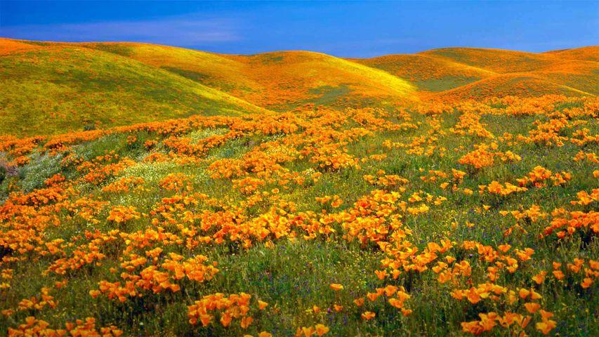 Antelope Valley Poppy Reserve near Lancaster, California
