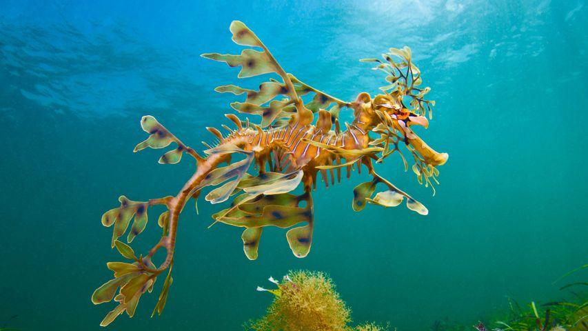 A leafy seadragon in the waters off Wool Bay, Australia