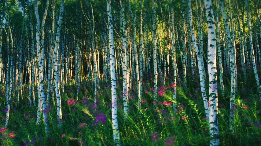 坝上地区的白桦林