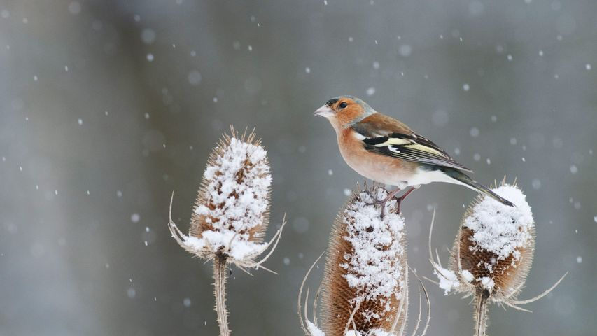 A chaffinch perched on a snow-covered teasel in Kent